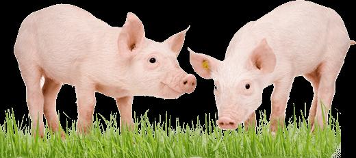 Запор у свиньи лечение