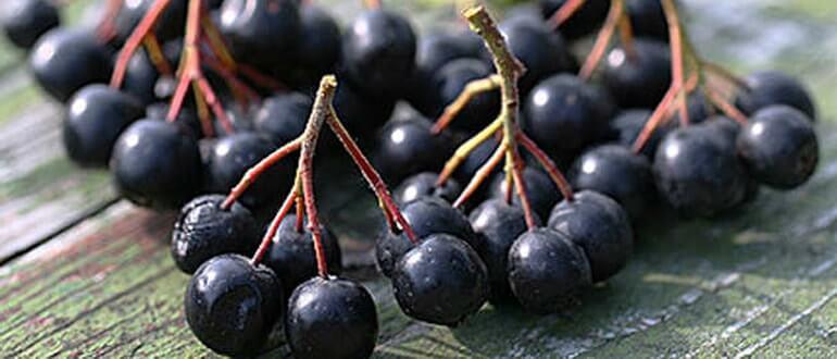 черноплодная рябина при запоре